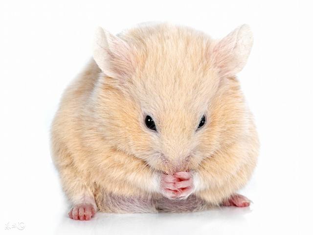 屬鼠人:家中有此子女,簡直是「聚寶盆」「印鈔機」「搖錢樹」!