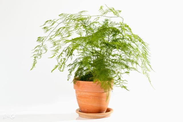 這種植物是除口臭的好幫手,但太多人忽略它了!