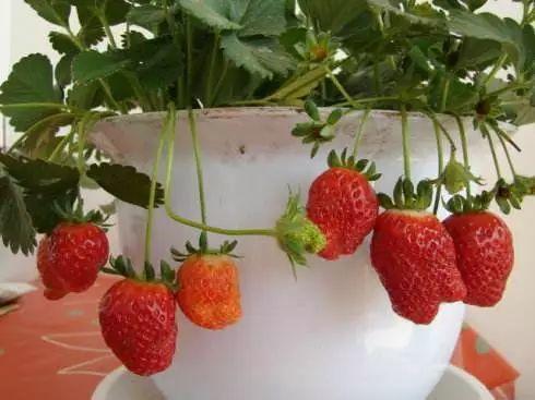 草莓那麼貴別買了,在家種一盆,3招讓草莓又大又甜!