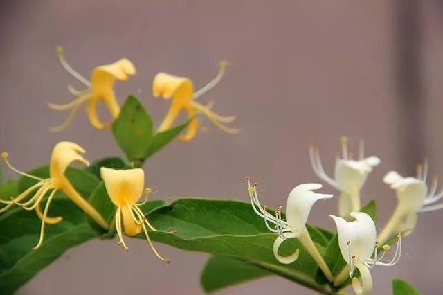 陽 台 種 這 三 種 花,全 家 藥 費 不 用 花,退 火、 消 炎 、降 脂 ……!