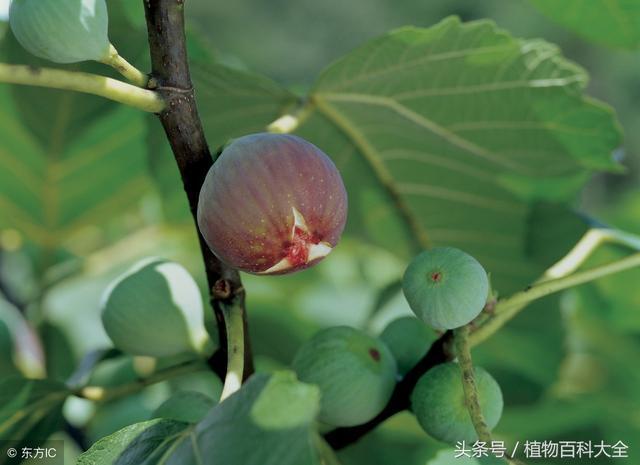 無花果栽培方法與養護管理
