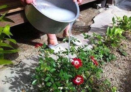 淘米水別單獨用,裡面加點「小佐料」,綠植用了葉子呼呼長!