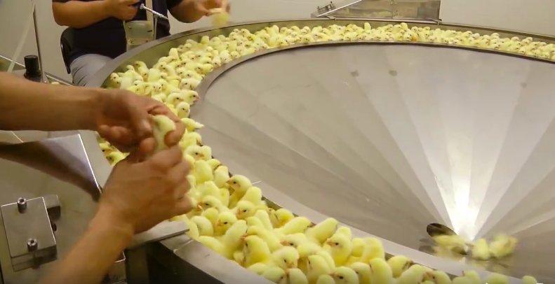 這就是雞養殖場最不想要讓你看到的恐怖畫面,許多網友忍不住流下眼淚說「再也不吃雞肉了...」