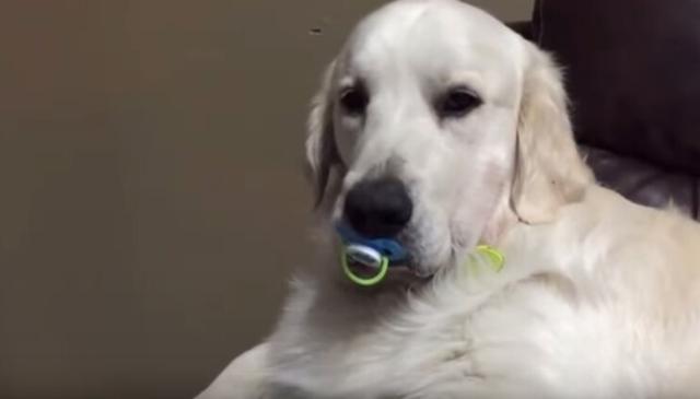狗狗趁小主人睡著偷吸奶嘴,被媽媽發現,結果下一幕讓人全部傻眼