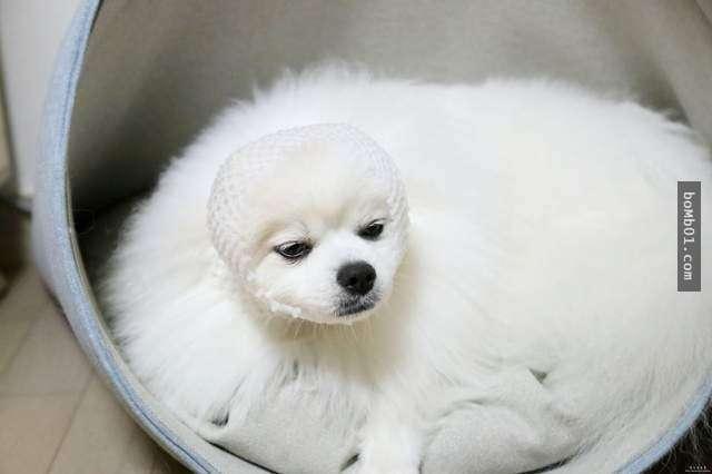 ▼可爱的小博美变身成为海豹,它明显不喜欢这样的造型.