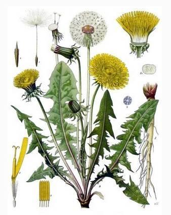 你了解蒲公英了嗎?蒲公英到底有啥功效?花、葉、根哪種更好?哪些人不適合吃?