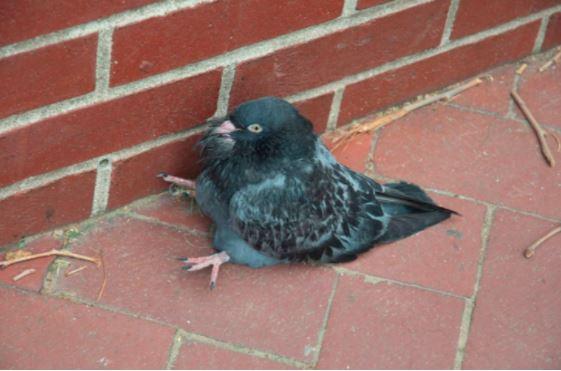 阿嬤也有養鴿子?! 網友在街上看見一隻「小胖鴿」呆坐地上!仔細一看...網友全被笑到翻!