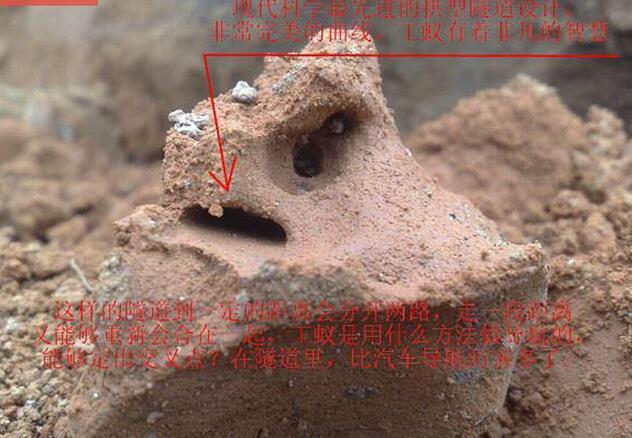 耗時三天挖出動物界最震撼的工程,活捉罕見三十幾歲白蟻皇后!