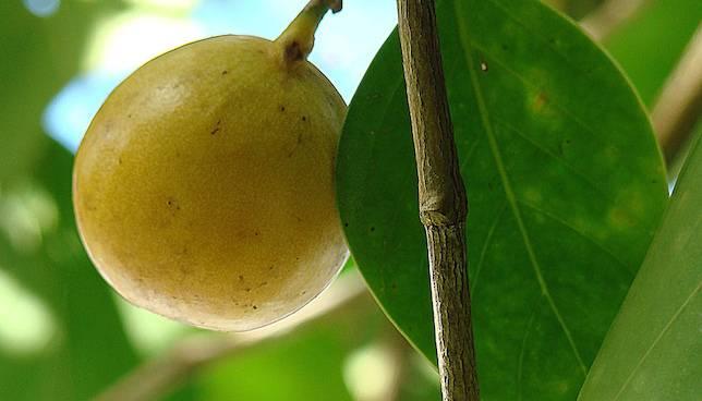 manchineel fruit