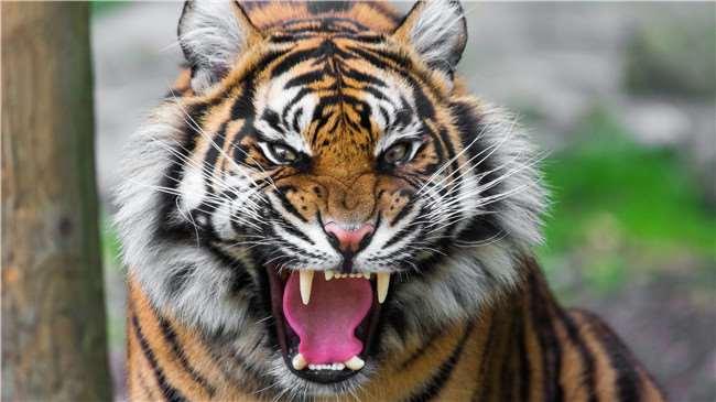那麼,体型最大的猫科动物——老虎,它的泳姿有多麼「优美」?