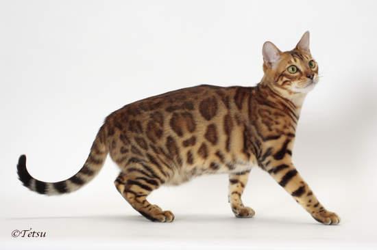 貓咪的小肚肚並不是真的肥胖