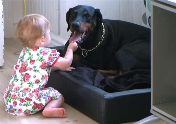 小主人猛抓兇猛杜賓犬的舌頭把玩,想不到狗狗接下來的逗趣反應讓人不斷的想重播!