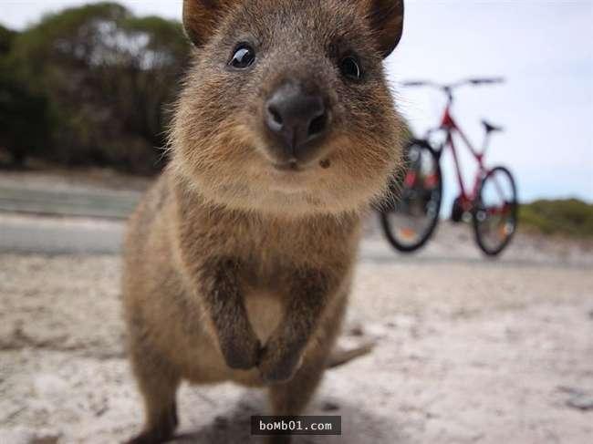 短尾矮袋鼠是世界上最快乐的动物,因为它们时刻保持笑容.