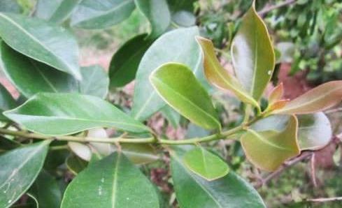 這種水果葉子是頭髮救星,每天洗1次,一個月之後頭髮長得更濃密!
