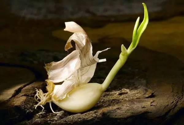 大蒜髮芽了還能吃嗎?盤點發芽不能吃的幾種食物!