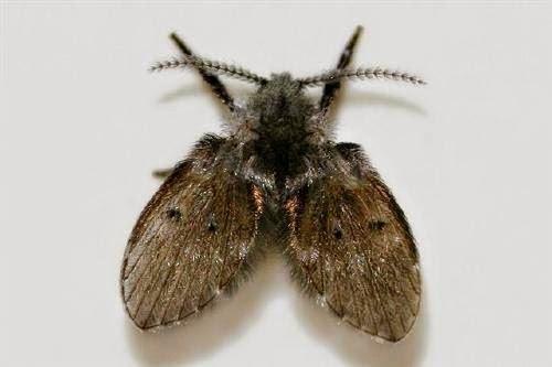 廁所裏常見的〝小飛蟲〞,原來是從這些地方出來的! 教你這樣消滅牠們