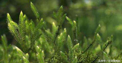 這種「龍鬚草」只長在懸崖邊,燉肉可強腎、煎湯專治痛風、降尿酸