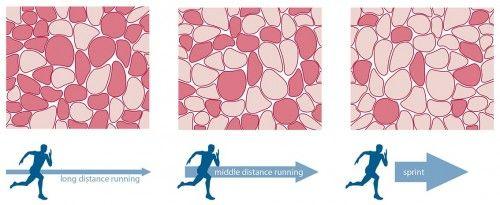 緩慢的運動有效刺激紅肌。
