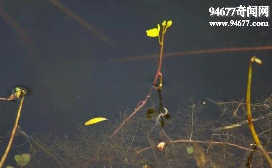 世界上最恐怖的食人草,實拍食人草捕食全過程