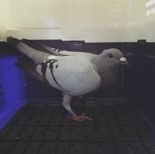 撿到綁有腳環的「迷路鴿子」你會送回去嗎?網友表示:不要送!因為送回去後果超悲慘…