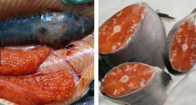 沒想到受到核輻射的魚解剖開,竟然變成了這種模樣,尤其是最後一張,光是用眼睛看就很可怕...