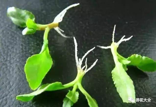 5毛錢的小東西,讓花躥到2米高,葉子片片巴掌大!