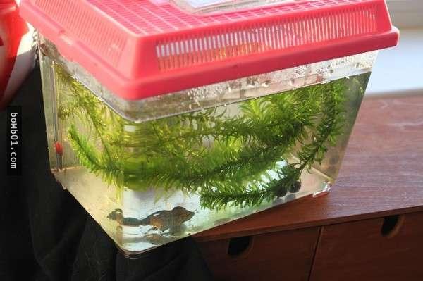 她把「瀕死斗魚」帶回家想給它安樂死 然而2個星期後它卻一天比一天更美麗