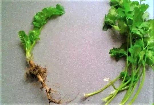 空油桶剪2刀,隨手撒點菜根菜頭,過年都不用買菜了!