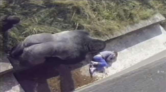 當強壯的大猩猩向意外掉進園區的男孩靠近...大家都覺得「死定了」!接下來的一幕完全出乎意料...