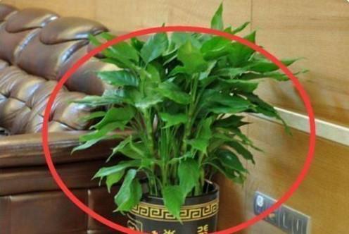 這幾種植物千萬別擺家中,特別第3種富人從不放,否則入住必破財(2/13)