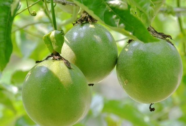 陽台裡的百香果,只開花卻不長果,用上「1招」,讓果子掛滿樹!