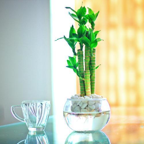 年前富貴竹突然黃葉怎麼辦?別著急換,這兩種「藥片」養花很有效