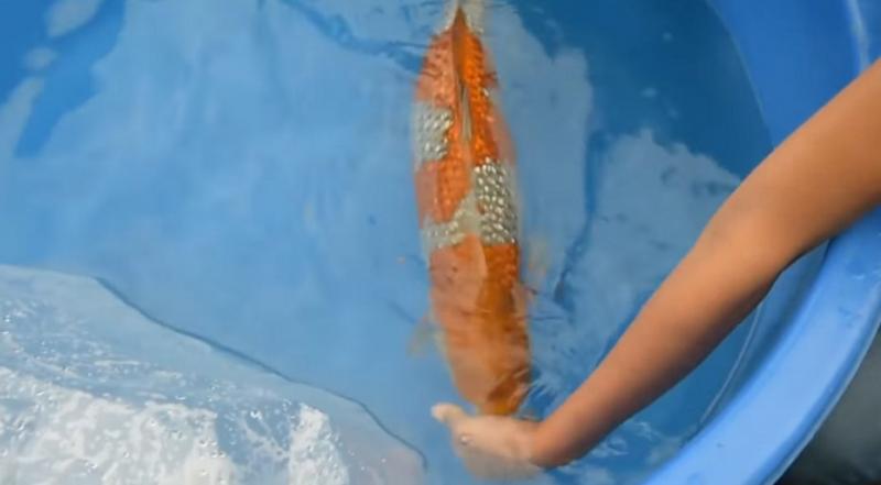 「養8年的錦鯉」肚子莫名越來越大 他砸重金請醫生開刀「肚子切開」嚇壞人!