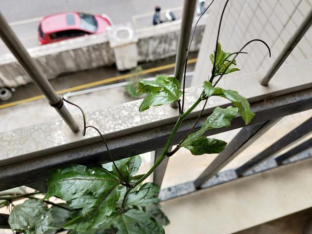 春天來了,朋友家陽台上的百香果苗一片生機