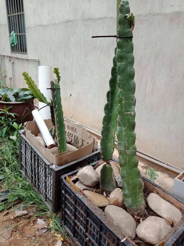 火龍果「挑」點籽,5天能發芽,2年開出花,恰當施肥能結果!