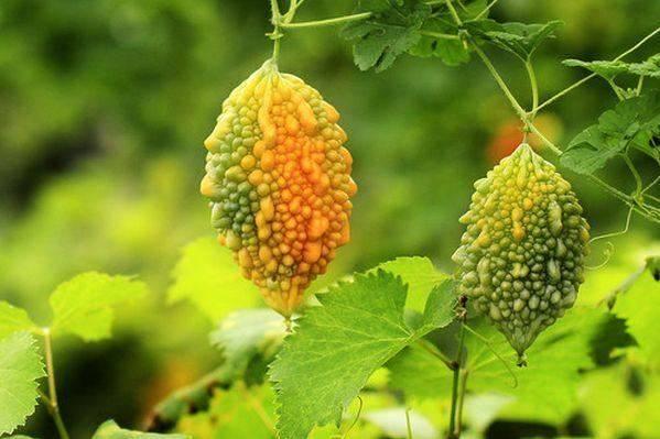 這種稀有的瓜,降糖效果遠超苦瓜,每天5克輕松降血糖、血脂 !