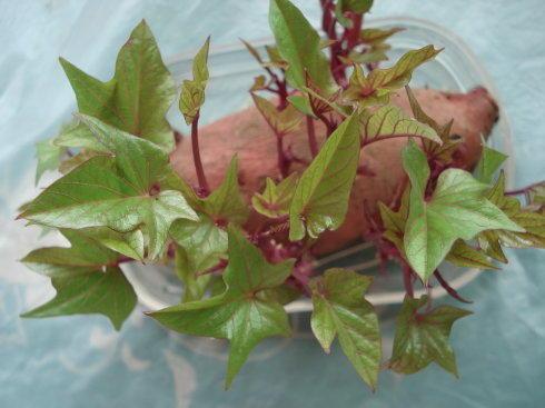退休大媽沒事幹,家裡種滿了紅薯苗,葉子天天吃!