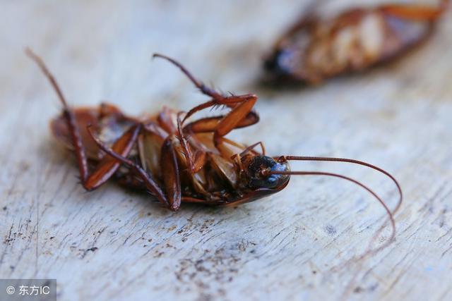 蟑螂太多別踩死!一根絲瓜,就能把蟑螂徹底消滅,1隻也找不到!
