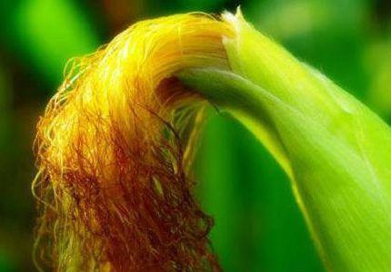 常吃玉米好處多,但玉米中真正有營養的部分,大多數人都給扔了