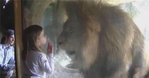 小女孩興奮的隔著玻璃「親」下去,沒想到獅子接下來的反應讓父母都嚇到腿軟了...