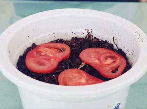 爛掉的西紅柿不要扔,其實比新鮮的還「值錢」,學到就是賺到!