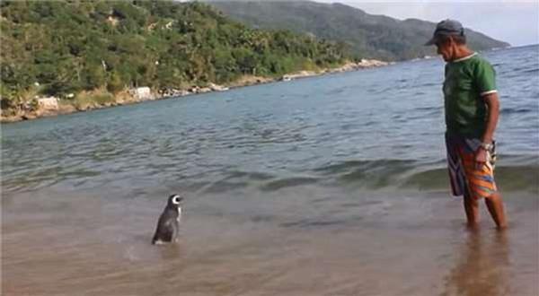 為了報老爺爺的救命之恩,這隻小企鵝每年必遊8千公裏的旅程來探望恩人!