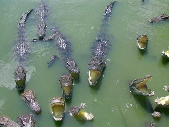 父母隨處放寶寶 滾落鱷魚池 啃剩頭顱
