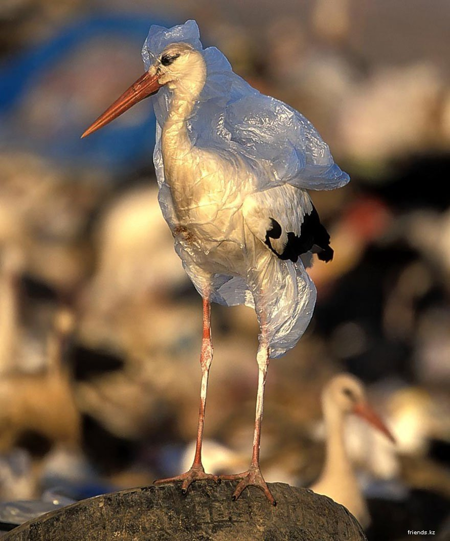 Stork Trapped In Plastic