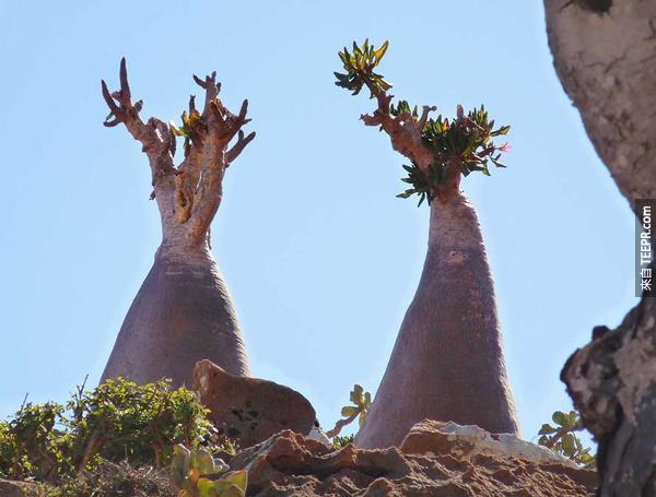 如果你有天忽然在Socotra島上醒來看到周圍的環境,一定會以為被穿梭到其它的次元了。<BR><BR>