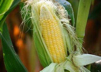 一把「玉米須」能治50多種病,堪稱仙藥啊!