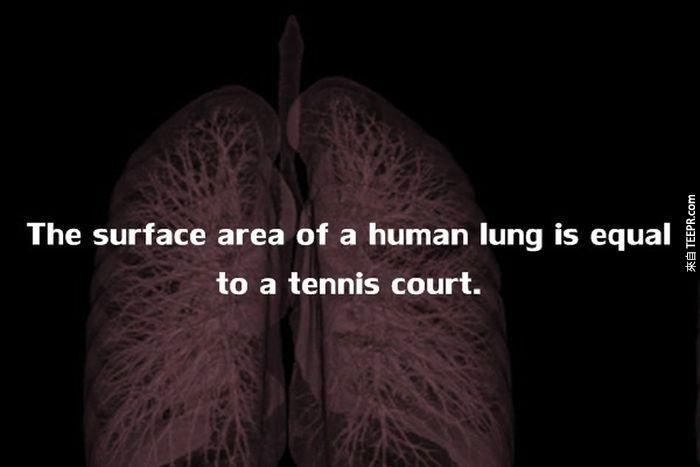 人類肺部的表面積,大約等於一個網球場大小。<!-- 電腦板-文章內插廣告-336X280 --> <br><br> <div align=
