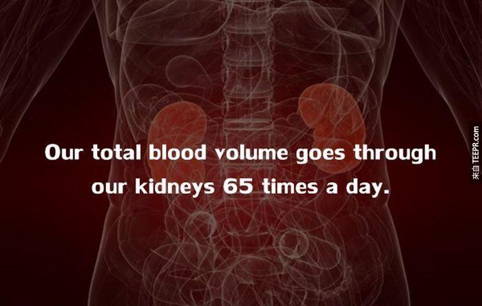 我們的血液,每天至少會經過我們的腎臟65次。<!-- 電腦板-文章內插廣告-336X280 --> <br><br> <div align=