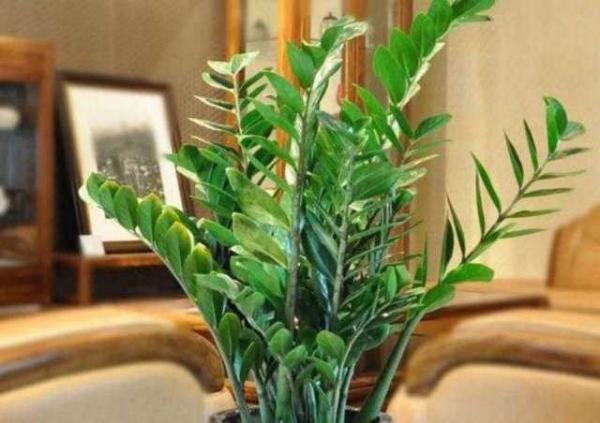 耐阴,耐旱 作用:   发财树,因名得利,喻意发财富贵,步步高升.