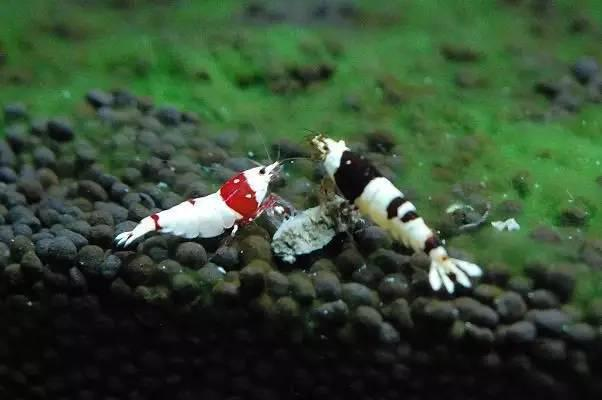 百科│你沒看見過的另類小寵物。(多種類)